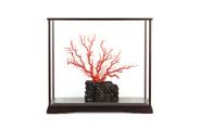 桃色珊瑚 原木